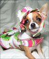Chihuahua <3  - all-small-dogs photo