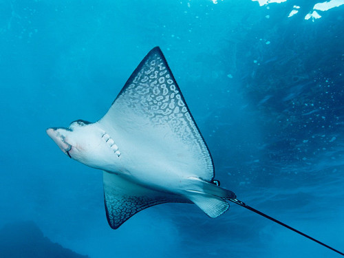 Underwater Fotografia wallpaper with a stingray, a skate, and an atlantic manta called Underwater
