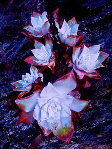 strange fleurs