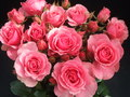rose - roses photo