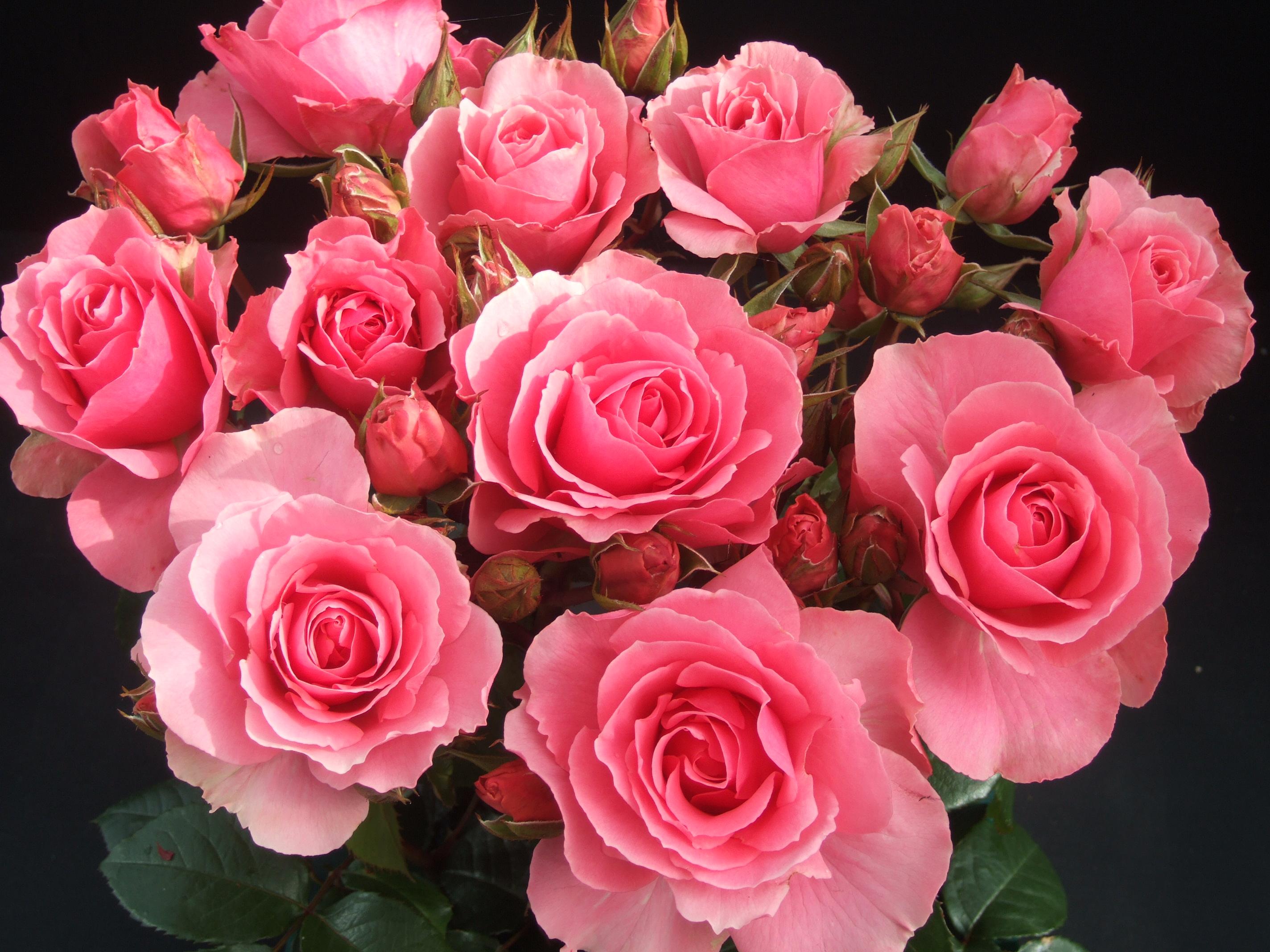 rose - roses Photo Roses