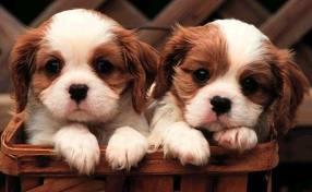 small cachorros