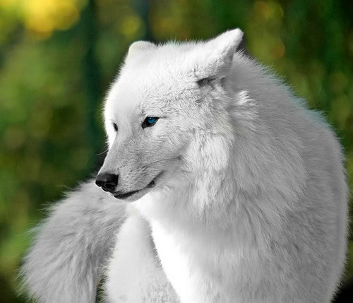 Beautiful White serigala For Christina♥