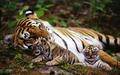 Mother & Cub - tigers photo