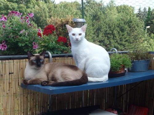 Siamese बिल्ली वॉलपेपर called Siam und OKH