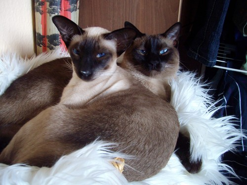 Siamese Cats wallpaper entitled Siamese Cats
