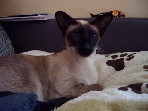 Siamese gatos wallpaper entitled Siamese,dunkel blaue Augen