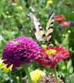 beautiful-butterfly - butterflies photo