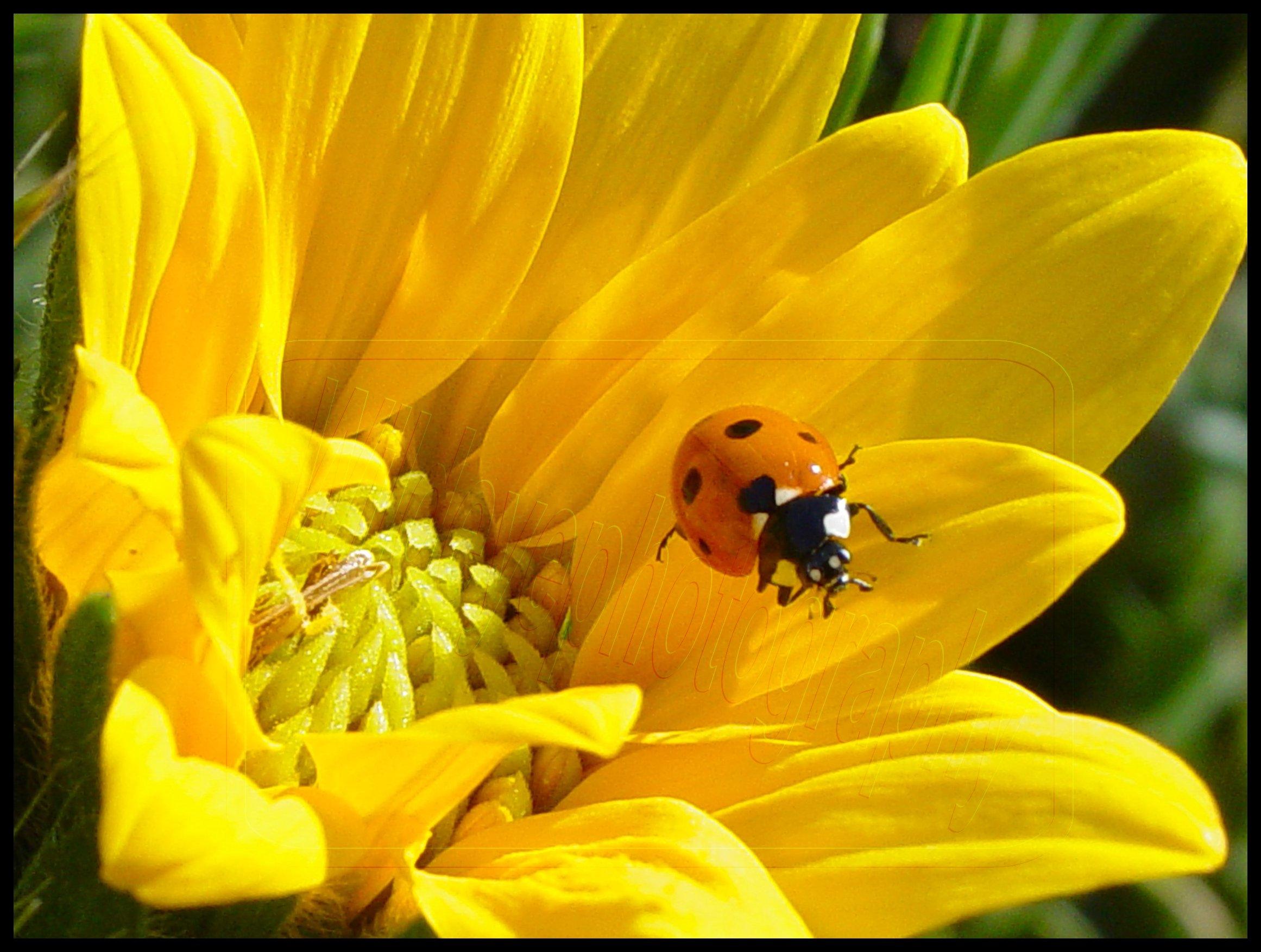 beautiful ladybugs - Ladybugs Photo (32774647) - Fanpop