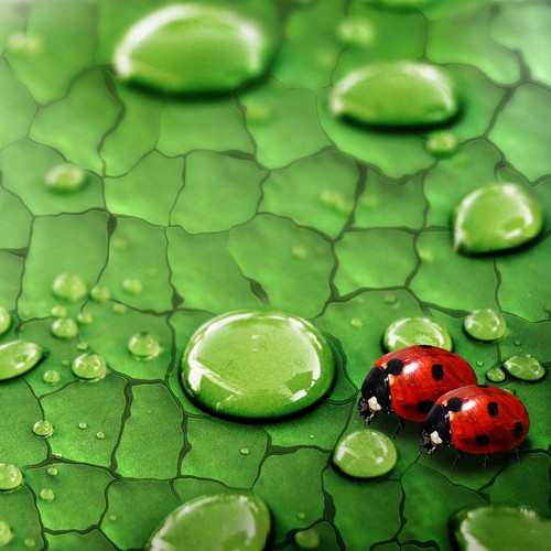 Ladybugs Images Lady Bugs HD Wallpaper And Background