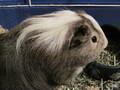 Jasper the G-pig