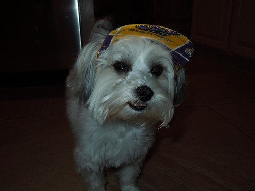 Cute chó con hình nền with a maltese dog called My Puppy! :) In her little hat