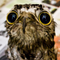 Potoo - animals photo
