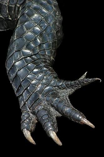 alligator claw