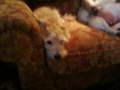 bob - all-small-dogs photo