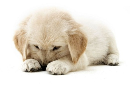 Cute Puppies achtergrond with a golden retriever entitled cutee