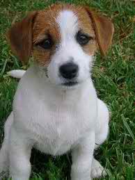 Cute chó con hình nền possibly containing a smooth haired cáo, fox giống chồn, chó sục, chó săn terrier entitled cutee