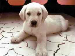 Cute Puppies achtergrond called cutee