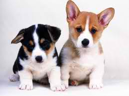 Cute Puppies achtergrond possibly with a pembroke called cutee