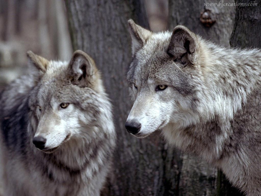 wolf wolves wallpaper 32863741 fanpop