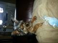 yorkie terrier....i am koi