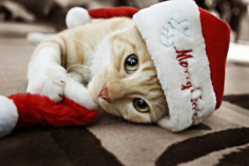 ★Cats Amore Natale too☆