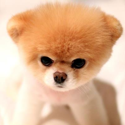 white pomeranian wallpaper
