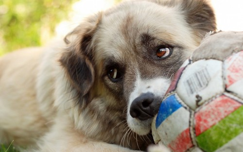 Dogs wallpaper with a soccer ball titled Dog
