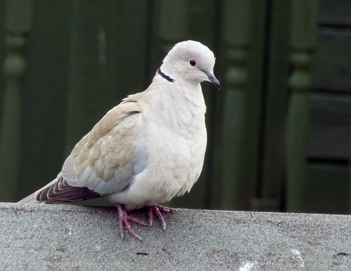 Doves wallpaper possibly with a homing pigeon, a dove, and a carrier pigeon called Dove