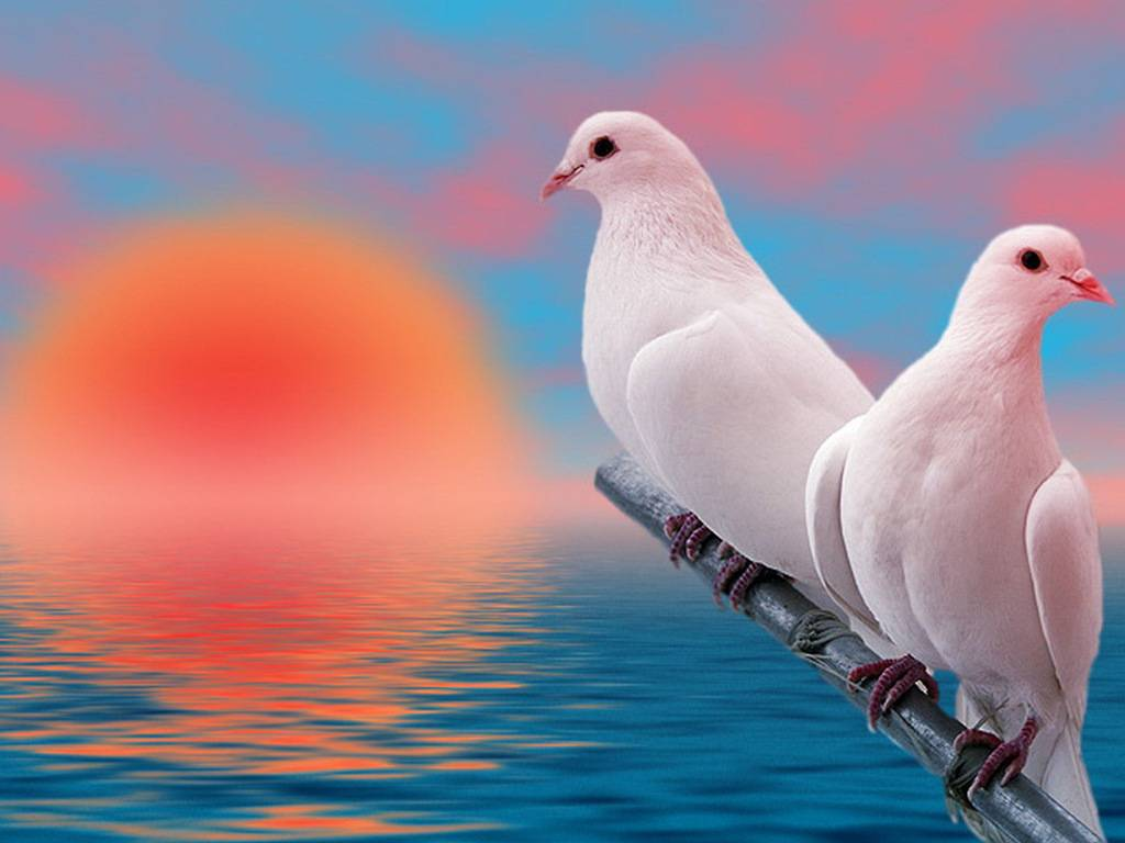 Love Birds Good Morning Wallpaper : Doves images Doves HD wallpaper and background photos (32938333)