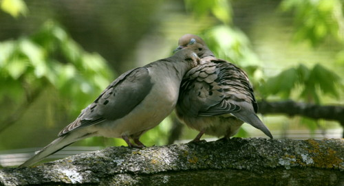 Doves wallpaper probably with a carrier pigeon, a dove, and a storno called Doves