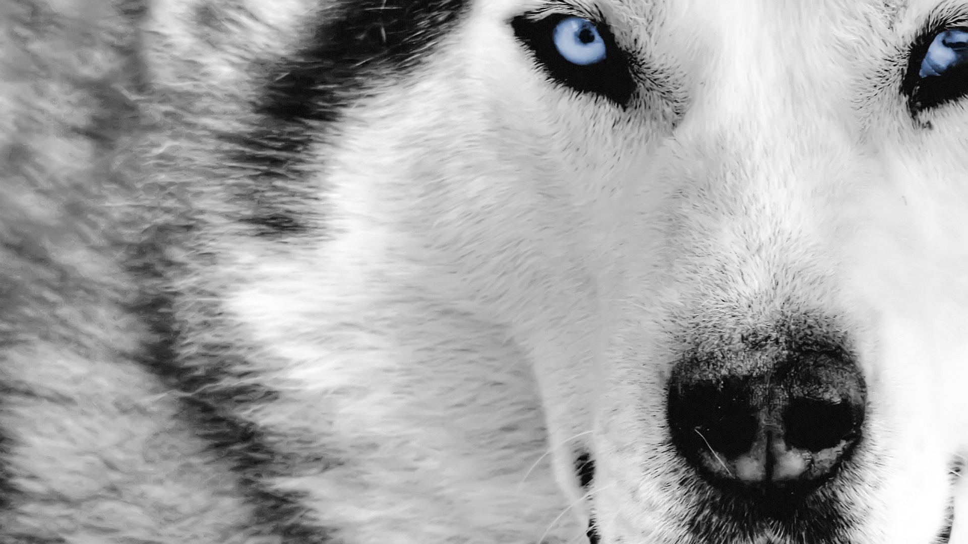 wolves images wolf wallpaper hd wallpaper and background