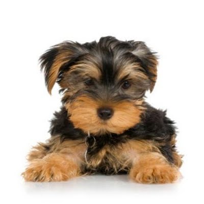 Yorkie Puppies Yorkshire Terrier