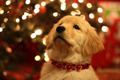 ★Dogs love Christmas too☆