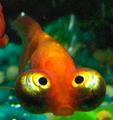 Blue bubble eye goldfish - photo#19
