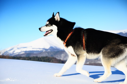 Siberian Huskies wallpaper probably with a siberian husky titled Siberian Husky - Garreth Nannook from Slovakia