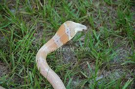 Sunset Monacoled cobra