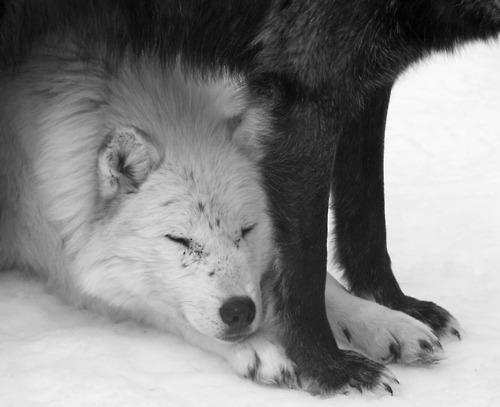 Wolfs (main)