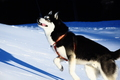 my Siberian Husky - Garreth Nannook Jack London