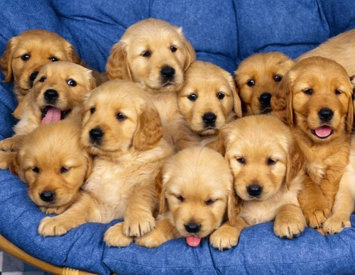10 golden retrevier puppies