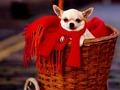 Chihuahua Christmas wallpaper