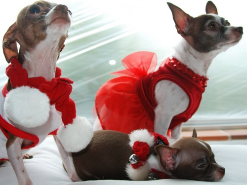 chihuahua Christmas achtergrond