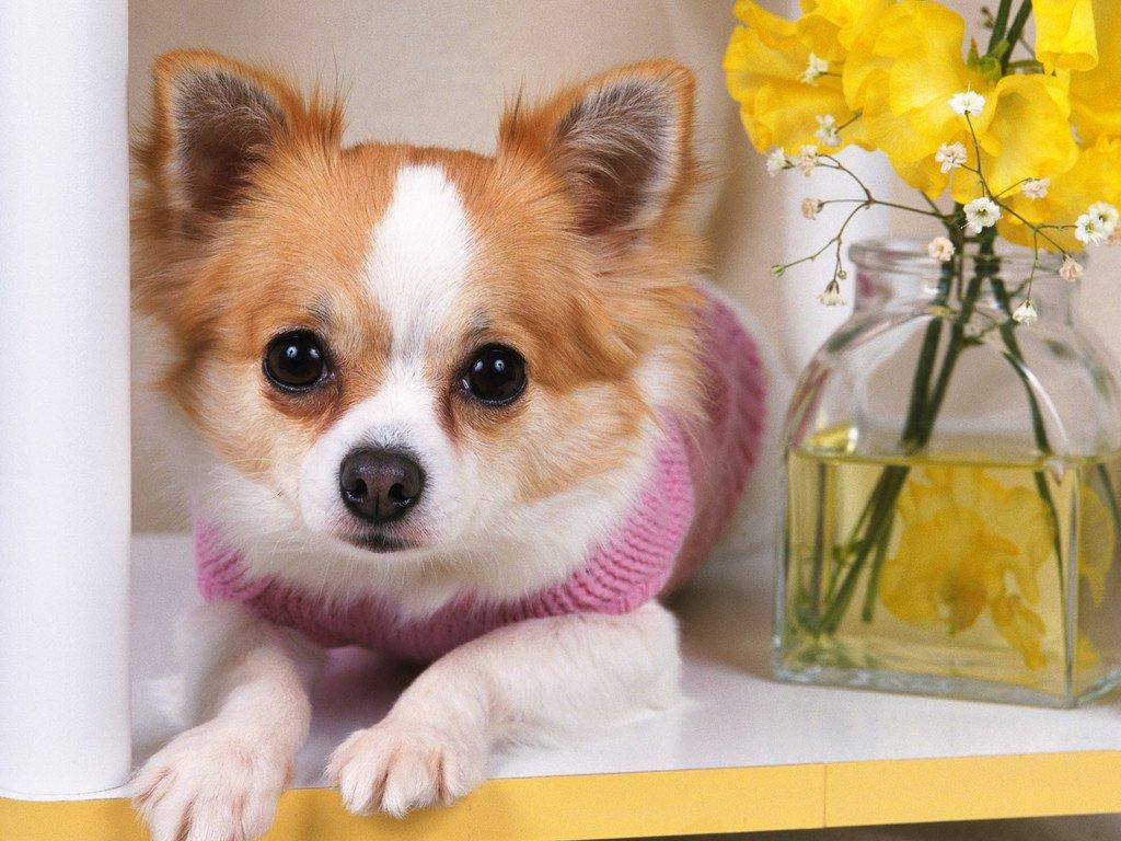 Chihuahua wallpaper - Teddybear64