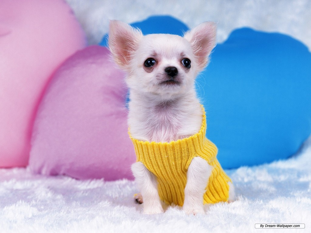 Chihuahua wallpaper - Teddybear64 Wallpaper (33124233) - Fanpop