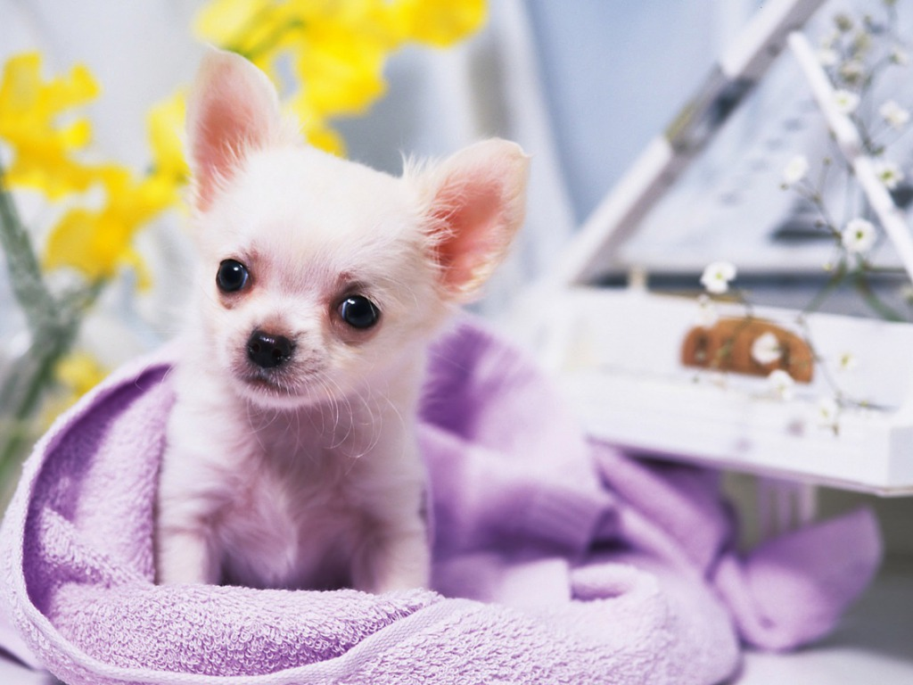 Chihuahua wallpaper - Teddybear64 Wallpaper (33124237) - Fanpop