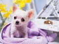 Chihuahua wallpaper - teddybear64 wallpaper