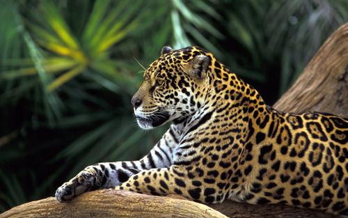 Jaguar Обои