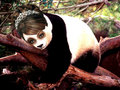 Lena - pandas photo