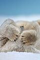 Polar kubeba