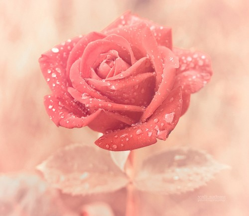 fiori wallpaper with a rose entitled Rose